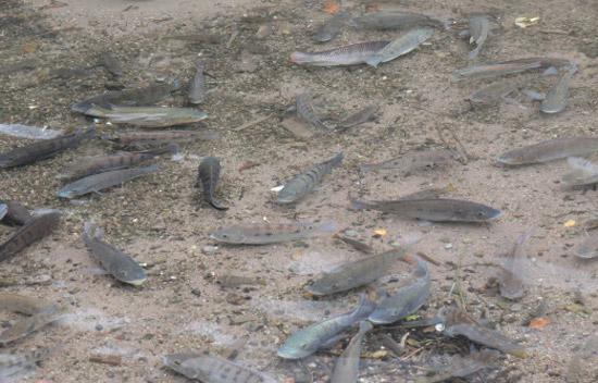 金鱗湖の魚「ティラピア」
